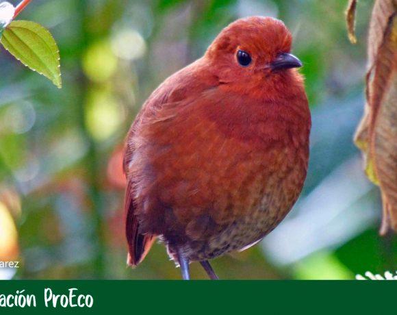 Nueva especie de ave en Colombia que honra a los embera
